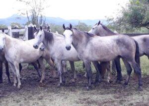 Vendo cavalos e éguas Mangalarga Marchador