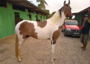 Vendo Cavalo Campolina