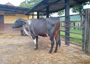 Vendo vacas Girolando