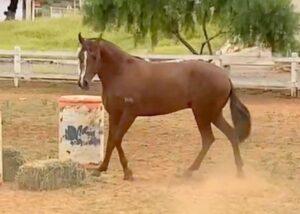 Vendo cavalo Mangalarga Marchador registrado