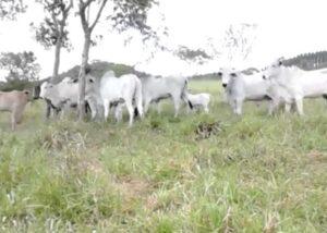 Vendo gado Nelore