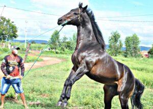 Vendo Cavalo Quarto de Milha registrado