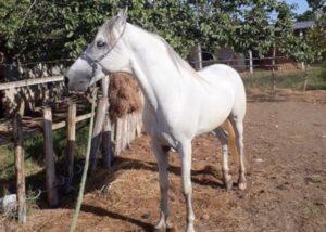 Vendo cavalo Mangalarga Marchador (Sem Registro)