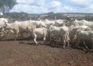 Vendo 14 vacas Nelore com bezerros ao pé